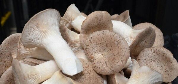 Los hongos se cultivan en Cascajal de Coronado.