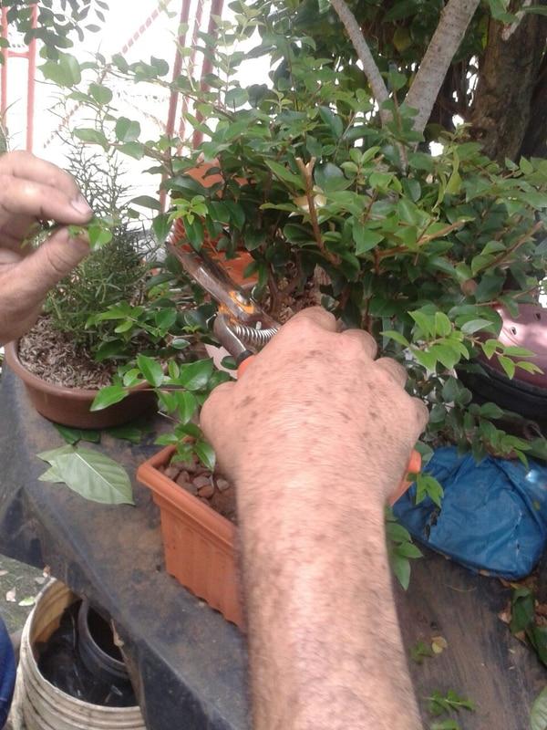 Según Jorge Córdoba, ha vendido alrededor de 500 bonsái.