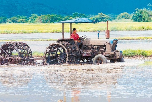 Impactados. El 50% de las cosechas de arroz y frijoles se pierde por falta de agua. La situación mejoraría al aumentar las zonas de riego.