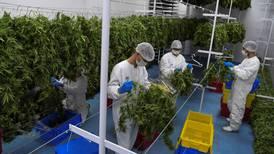 Cáñamo tiene potencial para comercializarse industrialmente, según Procomer, mientras proyecto de ley para legalizar su producción avanza lento en la Asamblea