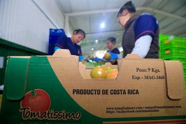 Tomatissimo exporta contenedores completos, en envíos semanales. (Foto: Rafael Pacheco).