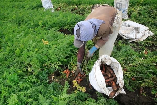 Para la Cámara de Agricultura un incremento en la edad de retiro para la jubilación afectaría al sector porque pondría a laborar personas mayores en actividades que son físicamente demandantes. Un agricultor en Llano Grande de Cartago se encarga de cosechar zanahorias.