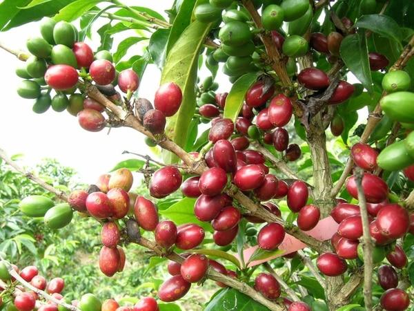 Según los cafetaleros, los efectos de la roya se harán sentir con mayor fuerza en la cosecha 2013-2014.