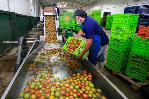 Tomatissimo prepara los tomates para exportación en su planta en La Lima de Cartago. (Foto: Rafael Pacheco).