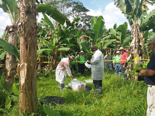 Proceso de muestre bajo normas de bioseguridad. Las autoridades del Servicio Fitosanitario del Estado de Costa Rica, en coordinación con el Organismo Internacional Regional de Sanidad Agropecuaria (OIRSA), y con el apoyo de la Corporación Bananera Nacional (Corbana), organizaron un simulacro oficial en una finca experimental de Corporación, en la región Huetar Caribe, como parte de las acciones para prevenir el ingreso a suelo nacional de la plaga conocida como Fusarium oxysporum f. sp. cubense raza 4 Tropical (FOC R4T).