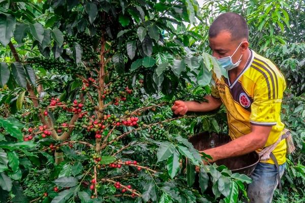 Un agricultor recolecta granos de café en una plantación en el municipio de La Tebaida, departamento de Quindío, Colombia, el 21 de mayo de 2020. Fotografía: AFP.