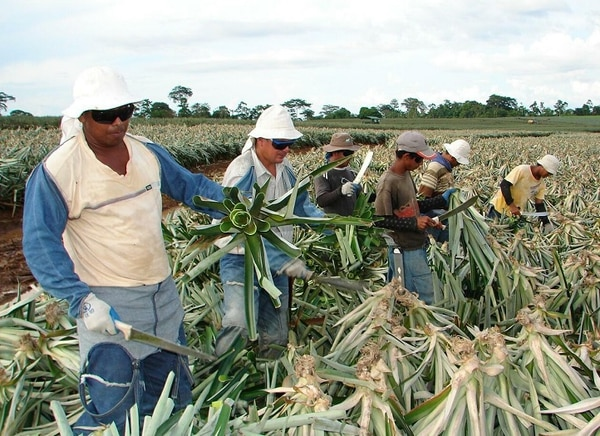 La piña sobresale, de entre los tres cultivos, por ser el que más vio aumentada su área sembrada en los años en estudio.