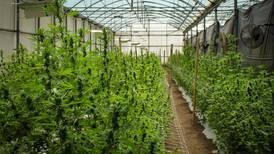 Legalización de cannabis medicinal y cáñamo industrial es aprobada en primer debate en Costa Rica