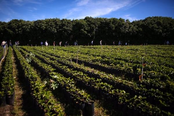 Hacienda Alsacia comprende 240 hectáreas, de ellas 170 tienen plantaciones de café y 10 de estas últimas son dedicadas la investigación. Desde la compra, algunos lotes empezaron un proceso de renovación.