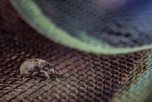 Considerado nativo de México y Centroamérica, el gorgojo del algodón es un escarabajo que ataca a las plantas algodoneras. Cruzó por primera vez hacia EE. UU. en la década de 1890 alrededor de Brownsville, Texas, y se propagó a la costa atlántica, casi aniquilando a la industria del algodón.