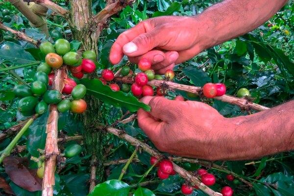 Los cafeteros colombianos temen que parte de su cosecha permanezca en los árboles, ya que las medidas de confinamiento contra la pandemia impiden a los recolectores mudarse a las regiones donde se produce el mejor café blando del mundo. Fotografía: AFP.