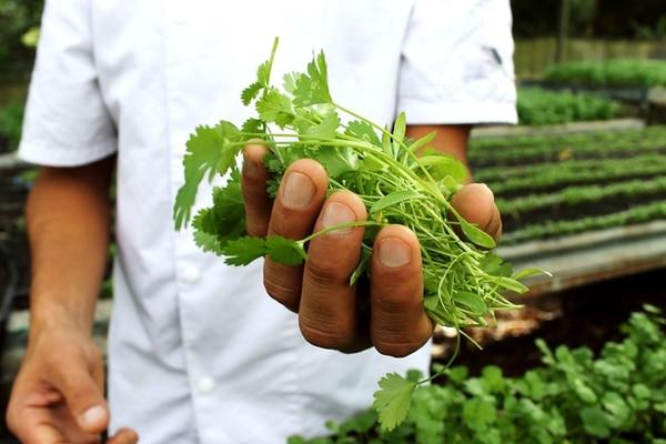 En Al Mercat se siembran vegetales como el culantro, que forman parte de platos fuertes y aderezos.