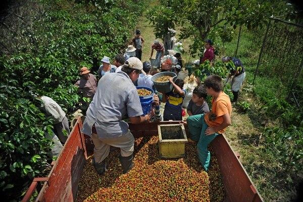 Icafé espera que la próxima cosecha alcance un crecimiento del 5%.